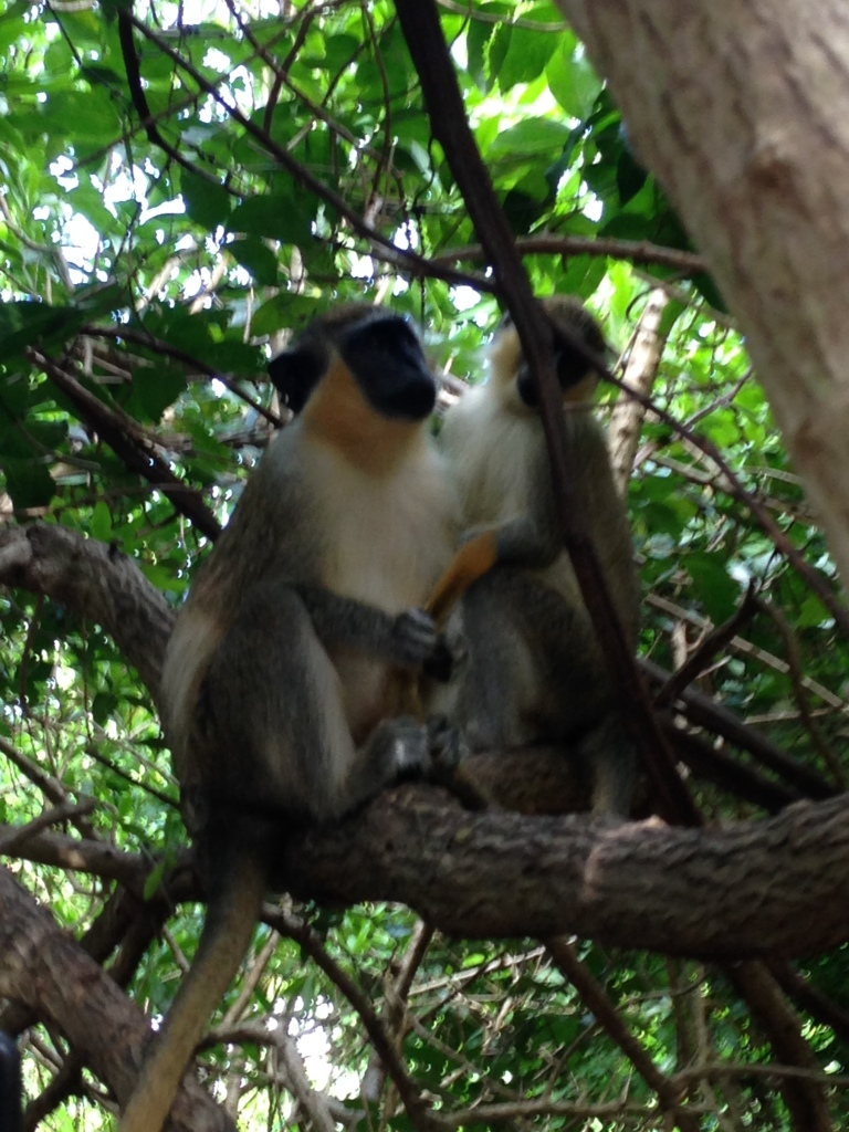Barbados National Wildlife Preserve, aka Monkey Forest